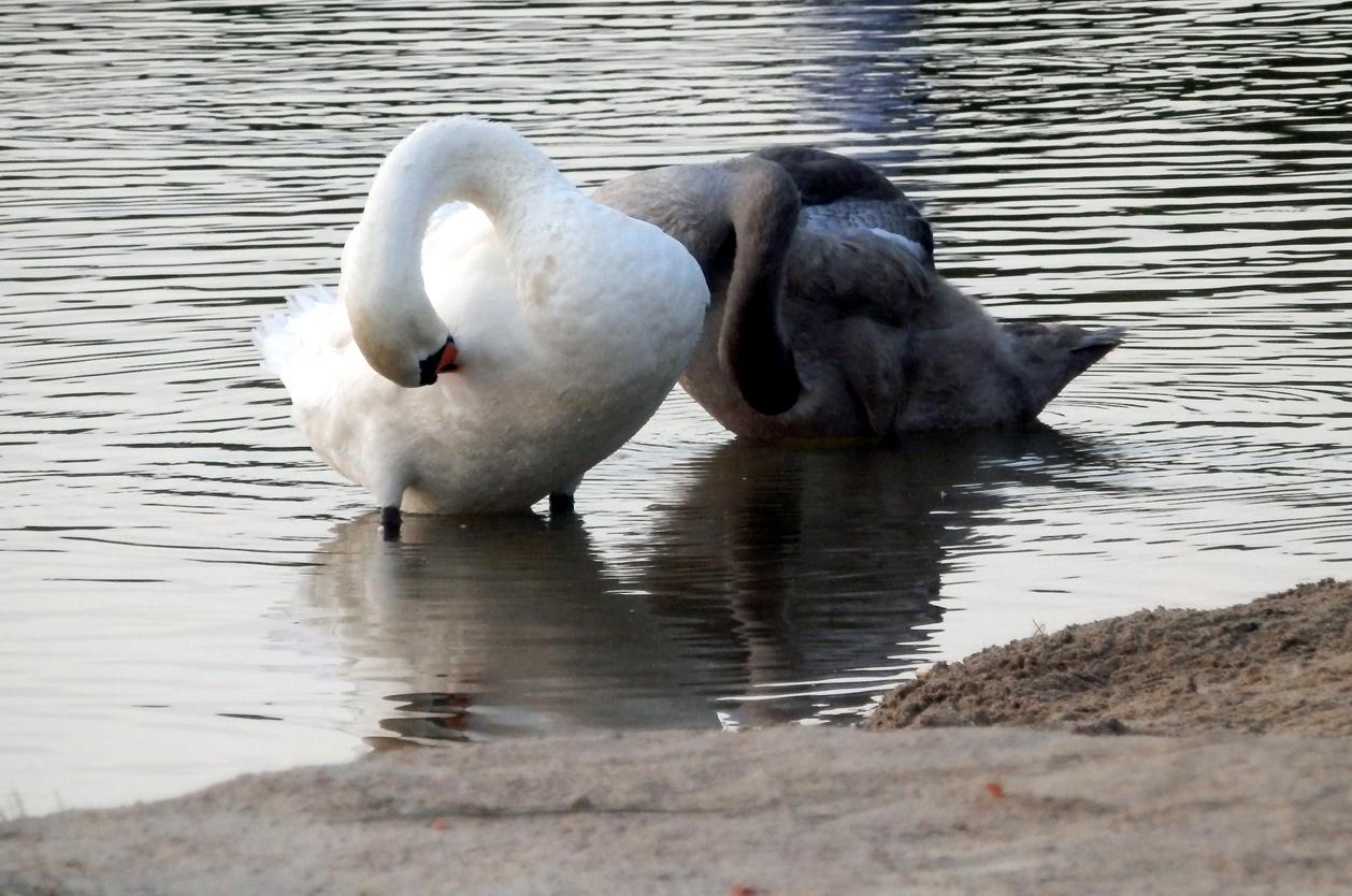 Labutě na jezeře Luknajno, Polsko