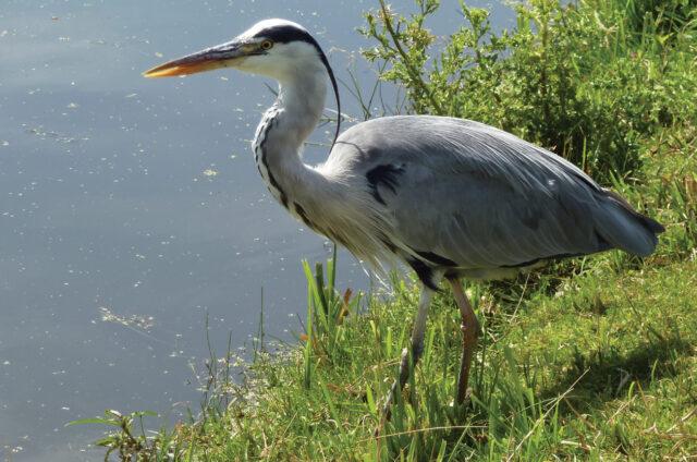 Fauna u kanálů, Holandsko