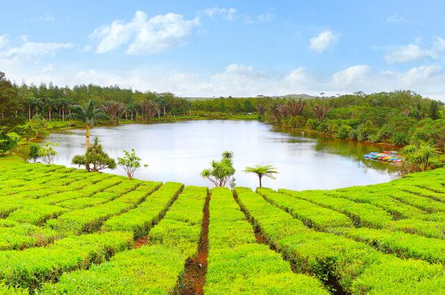 Čajové plantáže, Bois Cheri, Mauritius