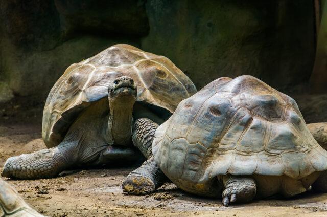 Želvy sloní, Galapágy
