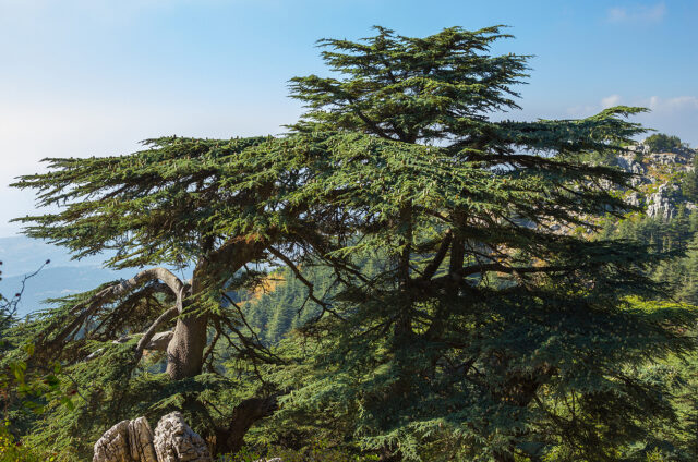 Cedrový les, Libanon
