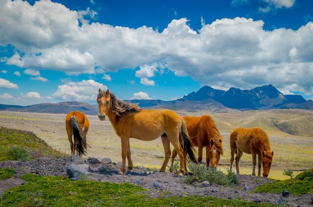 Divocí koně v N.P. Cotopaxi, Ekvádor