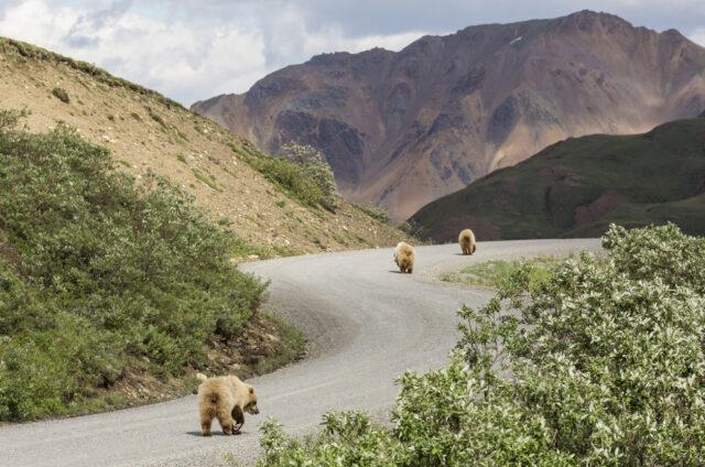 Divocí medvědi grizzly v Denali N.P., Aljaška, USA