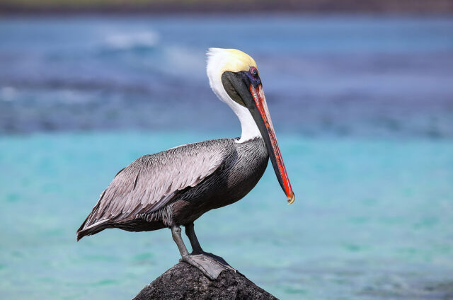 Hnědý pelikán, Suarez Point, Galapágy