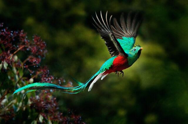 Jeden ze zástupců ptactva - quetzal, Kostarika