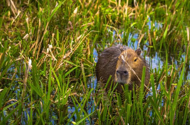 Kapybara, Colonia Carlos Pellegrini, Argentina