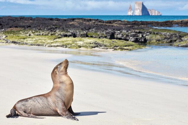 Lachtan, ostrov San Cristobal, Galapágy