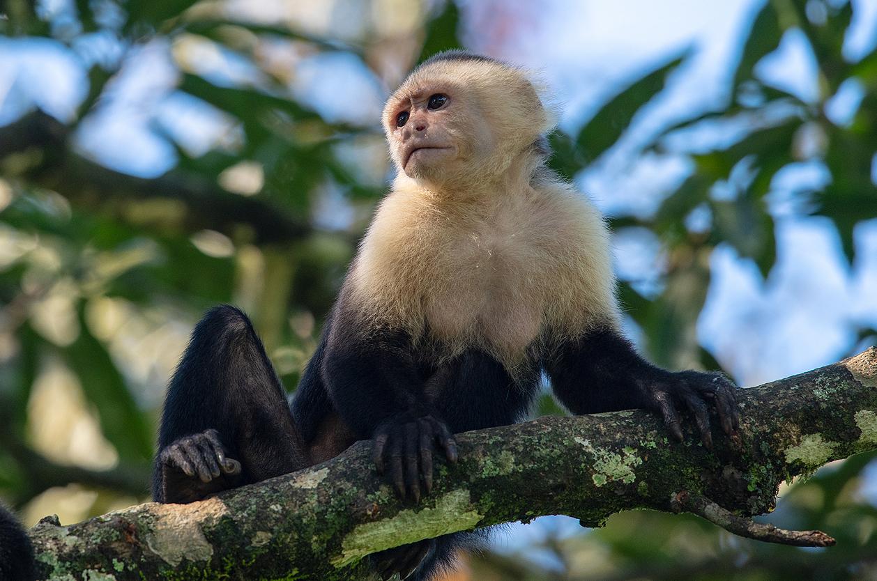 NP Manuel Antonio - kapucínská opice, Kostarika