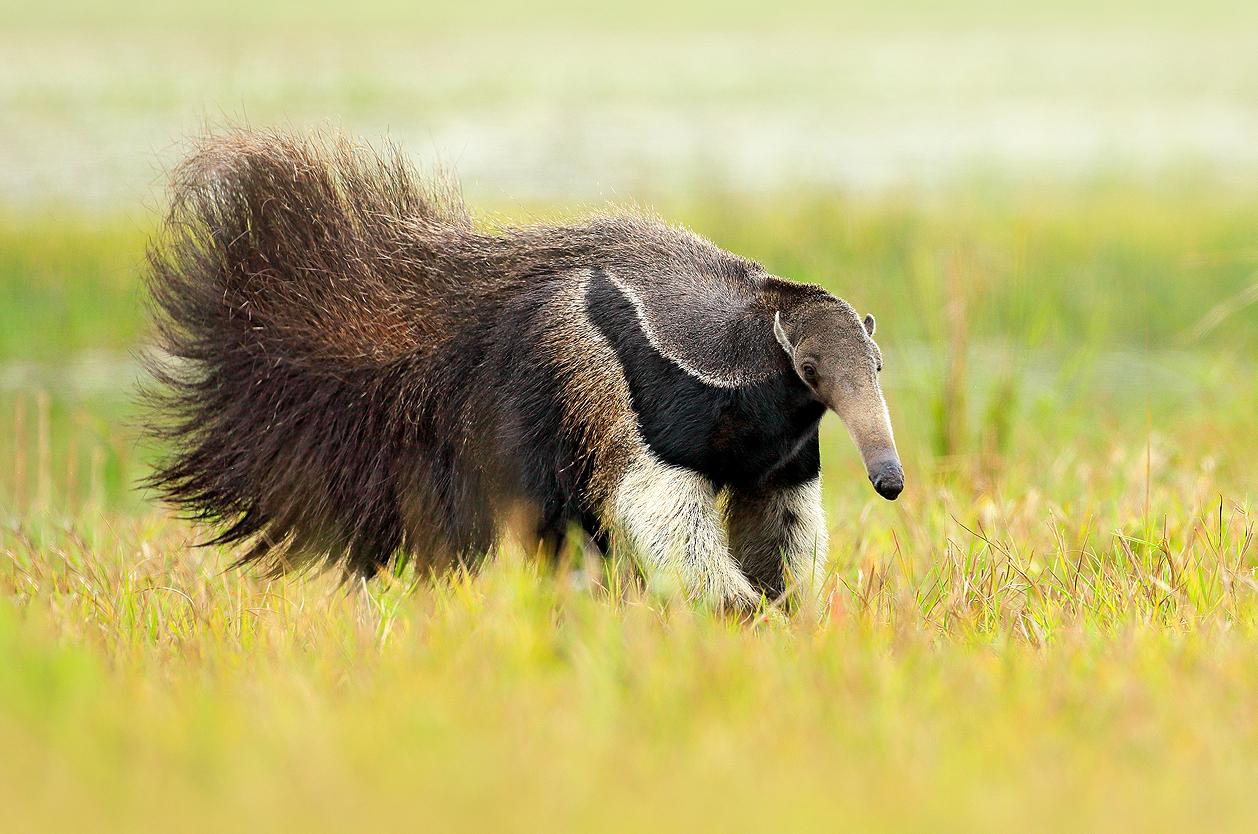 Obří mravenečník v Pantanalu, Brazílie