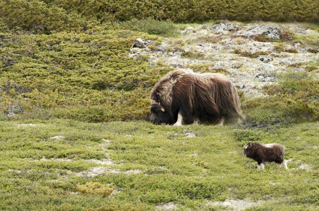 Pižmoň s mládětem, Grónsko