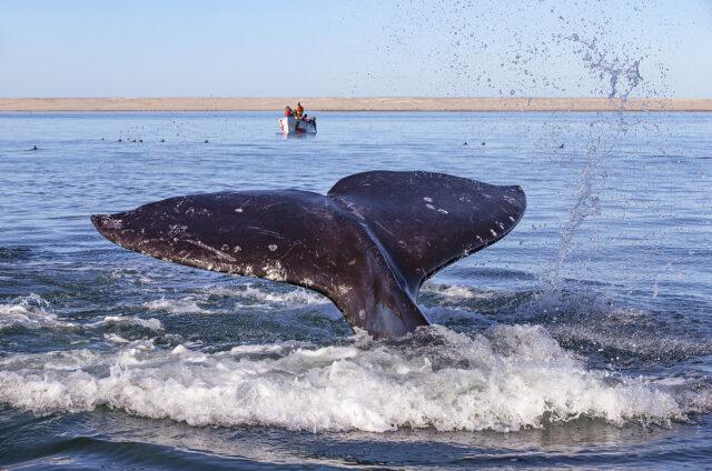 Pozorování velryb, Ojo de Liebre, Mexiko