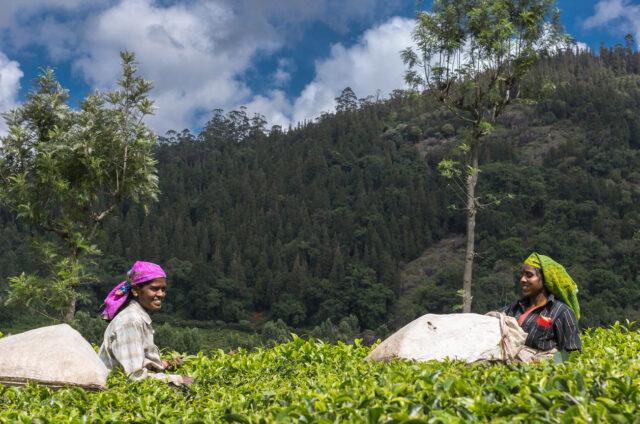 Sběr čaje v Nilgiri Hills, Indie