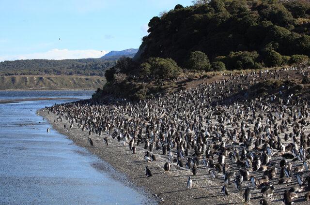 Tučňáci, Tierra del Fuego, Beagle, Argentina