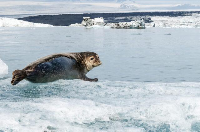 Tuleni na jezeře Jökulsárlón, Island