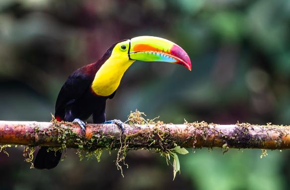 Jeden z mnoha druhů - tukan, Kostarika