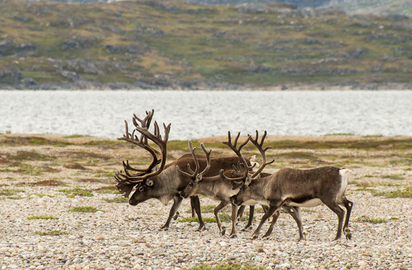 Polární sobi, Grónsko