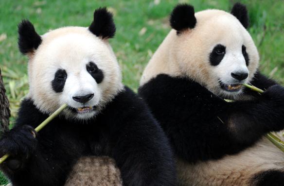 Pandy v Chengdu, Čína