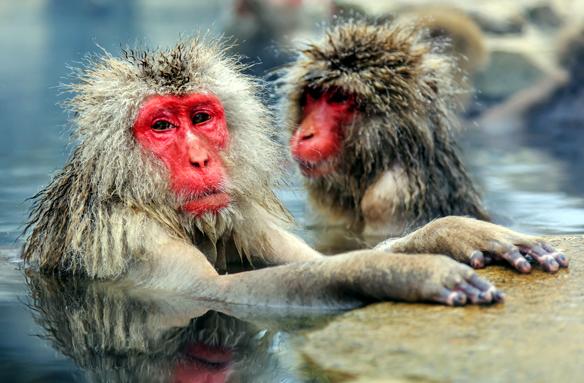 Sněžné opice v termálech, okolí Nagana, Japonsko