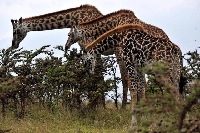 Žirafy, N.P. Manyara, Tanzanie