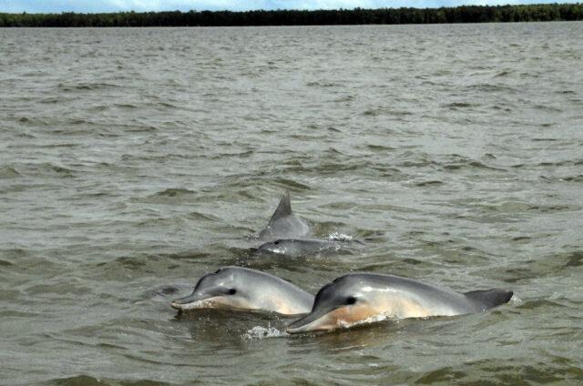 Delfíni u ústí řeky Surinam