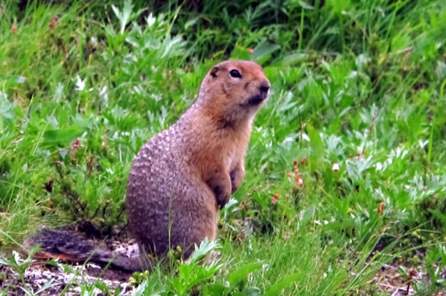 Fauna na Kamčatce, Rusko