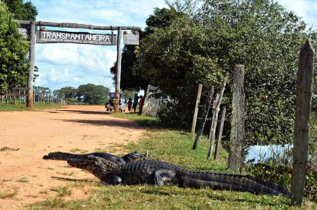 Kajmani na legendární Transpantaneira, Pantanal, Brazílie