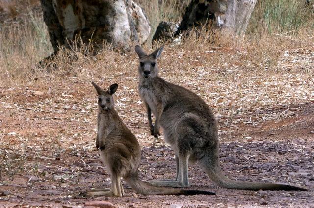 Klokani, Austrálie