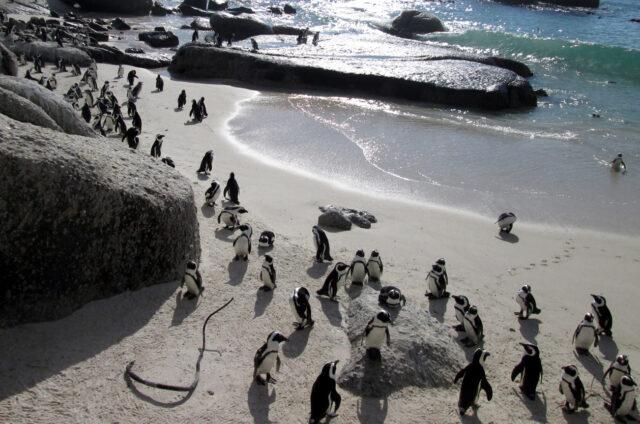 Kolonie mnoha tučňáků, Kapské Město, JAR