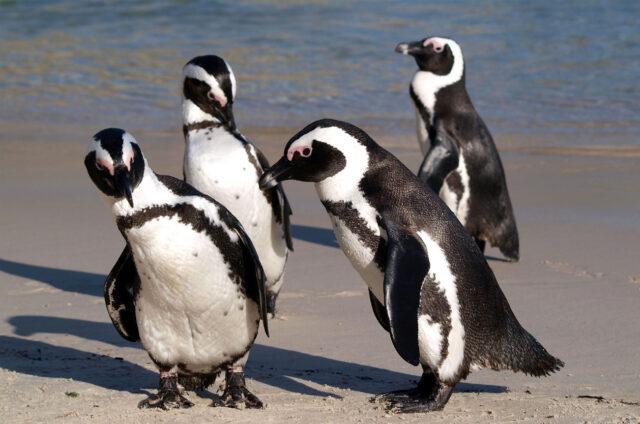 Kolonie tučňáků, Kapské Město, JAR