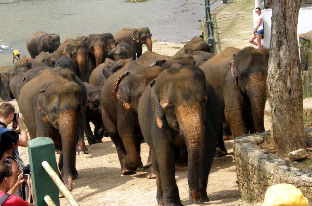 Koupání slonů v řece, Pinnawella, Srí Lanka