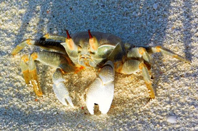 Krab, Maledivy