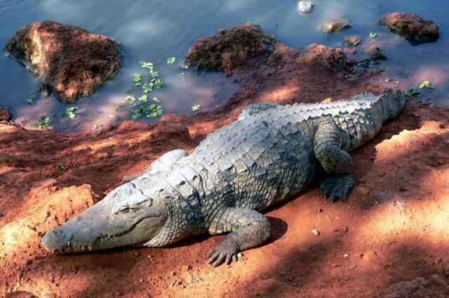 Krokodýl, Niokolo Koba, Senegal