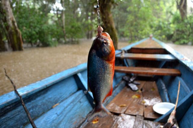 Lov piraní na Rio Negro, Amazonie, Manaus, Brazílie