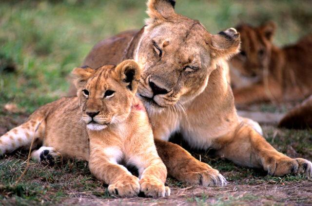 Lvi, N.P. Serengeti, Tanzánie