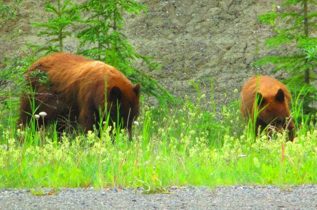 Medvědi na silnici č.37, Britská Kolumbie