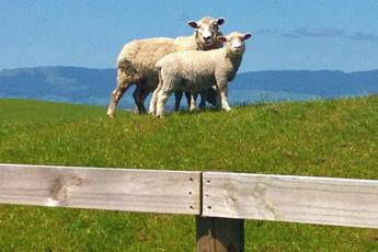 Ovce na pastvě, Nový Zéland