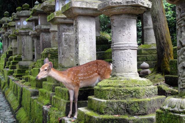 Nara, Kasuga - svatyně tisíce luceren, Japonsko