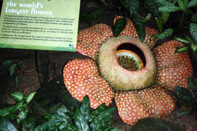 Největší květina světa - Rafflesia, ZOO, Singapur