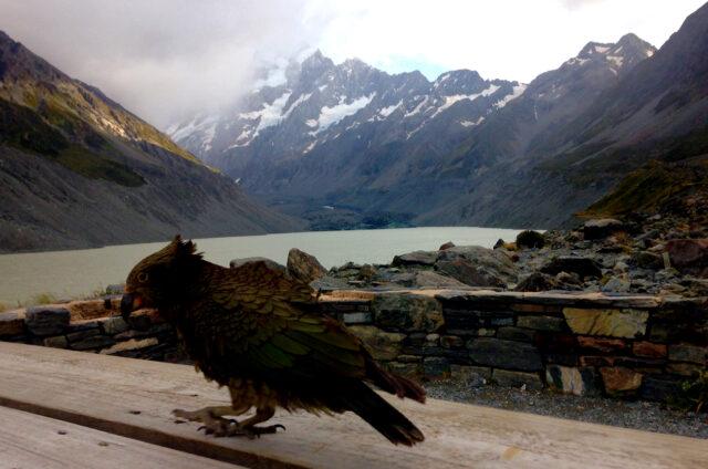 Papoušek Nestor kea, Mount Cook, Jižní o., NZ
