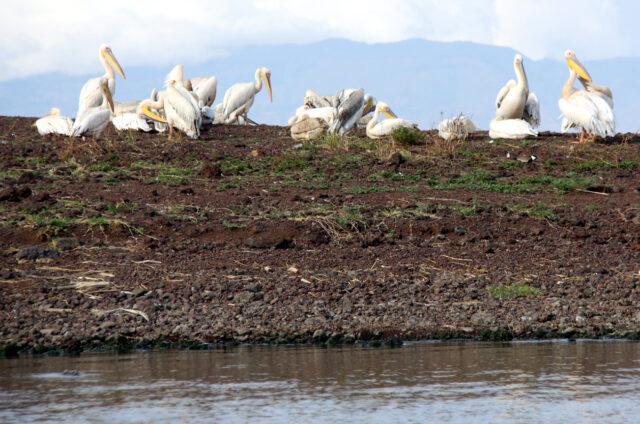 Pelikáni u jezera Awassa, Etiopie