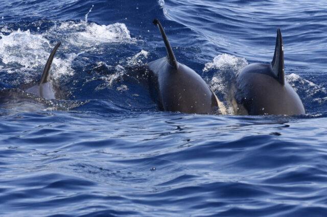 Plavání s delfíny, ostrov Pico, Azory