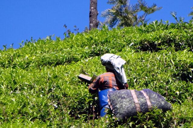 Sběr čaje, Munnar, Indie