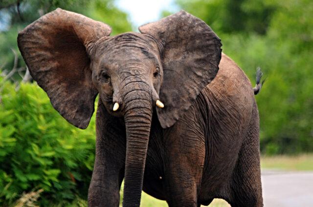 Sloni v Kruger N.P., JAR