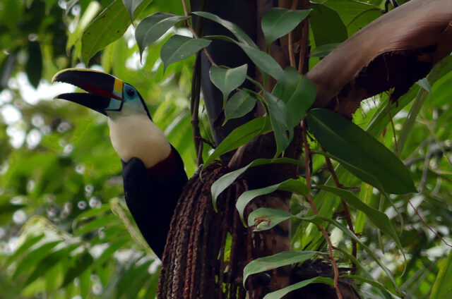 Tukan v N.P. Cuyabeno, Ekvádor