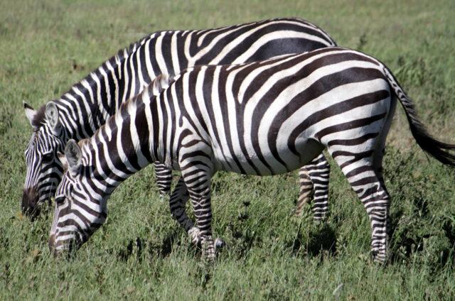 Zebry, N.P. Serengeti, Tanzánie