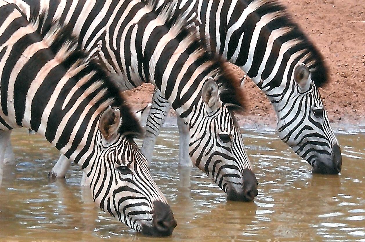 Zebry v Kruger N.P., JAR