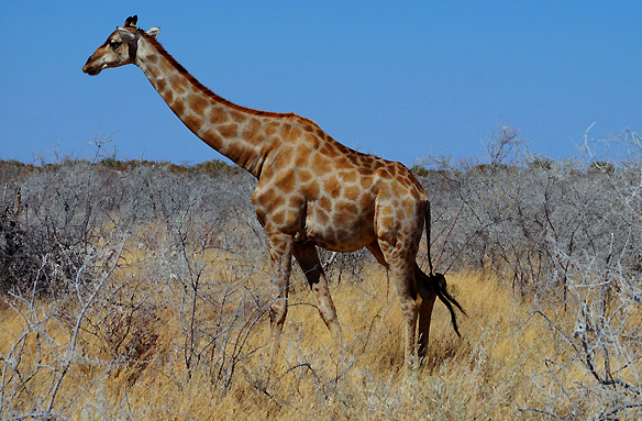 Žirafa, Etosha N.P., Namibie