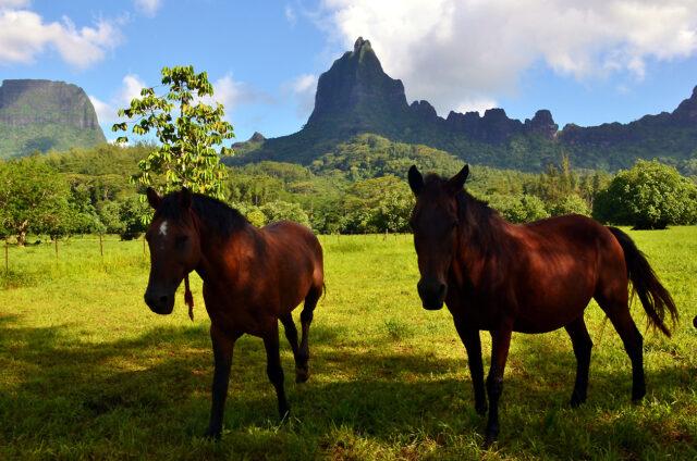 Moorea, koně pod Mt. Mouaroa - Žraločím zubem, Návětrné ostrovy, Francouzská Polynésie