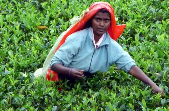 Čajové plantáže, Haputale, Srí Lanka