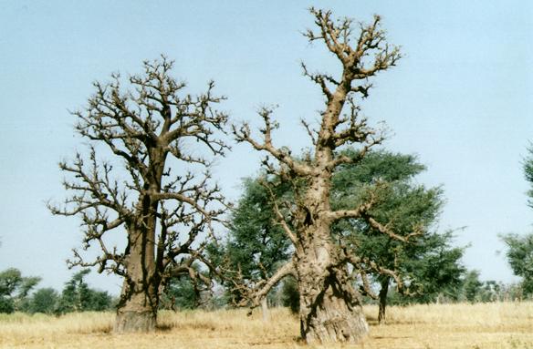 Baobaby, Senegal